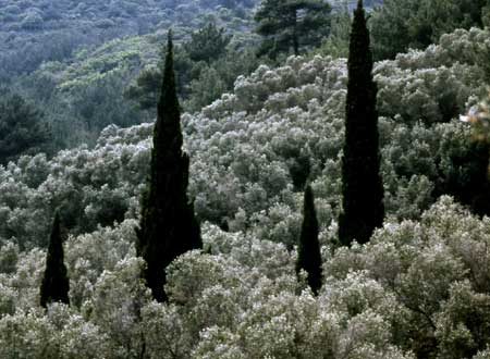 330-34-olivensamos-450.jpg