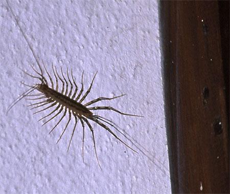 Mani Centipede
