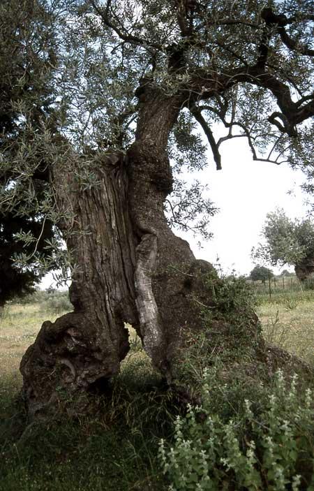 705-36-olivenbaum-hohl-450.jpg