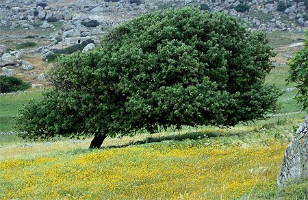 Tnos Baum