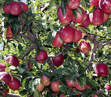 Äpfel Milies