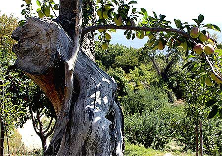 Milies Apfelbaum