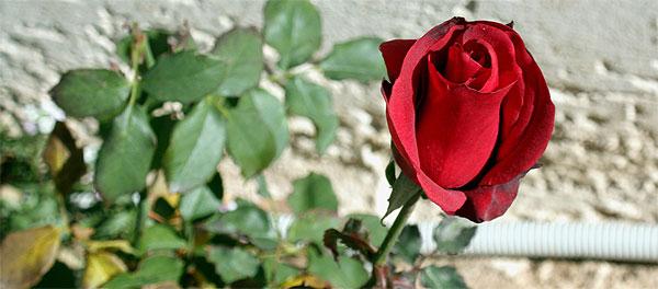 img_8843_a600_rosezakros